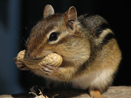 Бурундук ест арахис